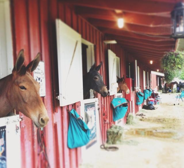mule_days_7
